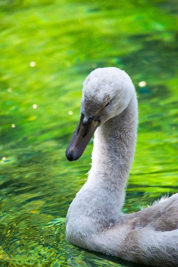 Close-Up Of Swan Swimming In Green Lake