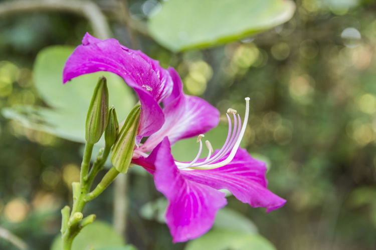 Bauhinia blakeana or Hong Kong orchid flower with a green leave in the garden Hong Kong Orchid Flower Bauhinia Blakeana Beauty In Nature Close-up Flower Flower Head Flowering Plant Focus On Foreground Fragility Freshness Growth Nature Petal Pink Color Plant Purple