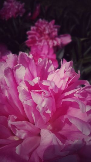 Flower Pink Color Petal Nature Beauty In Nature Peony  Flower Head Plant Purple Close-up No People Fragility Growth Outdoors Day Sunlight Freshness Pollen Blooming Freshness