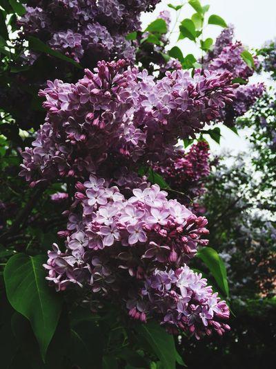 сирень фиолетовый цветы кусты куст сирени Lilac Bush Lilac Flower Lilac Lilac Tree Lilac Color Lilacflowers