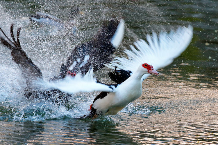 Muscovy ducks flying on lake