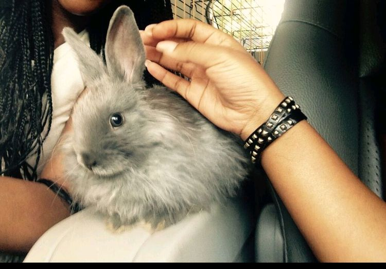 My baby Bunny  Buns Rabbit Pets Ilovebunnies Pets Of Johannesburg Grey Rabbit Cute Animals No People Bunnies The Bestin Johannesburg South Africa