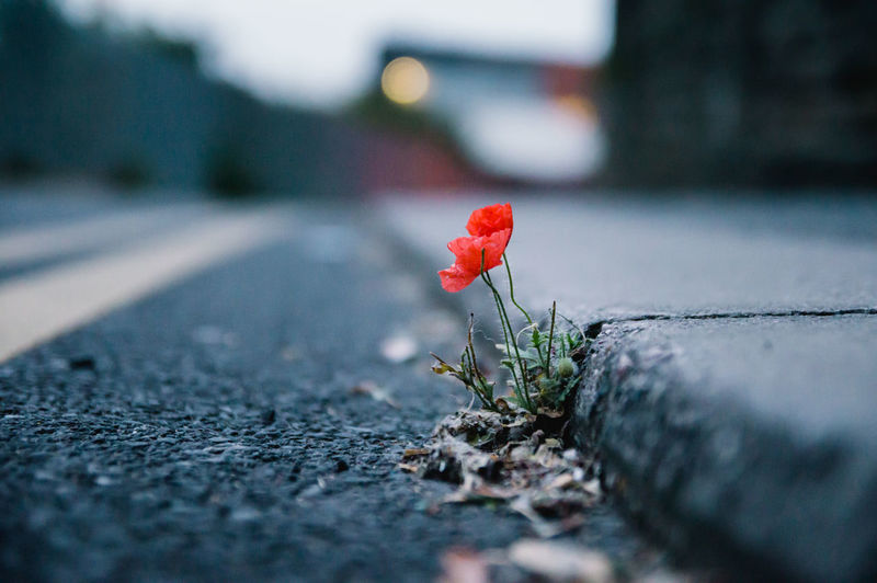 "A small ""fragile"" poppy growing in a pavement crack. Nature always finds a way. Beginnings City Close-up Flower Flowers & Plants Fragility Growing Nature Outdoors Poppy Red RePicture Growth Selective Focus Street Urban Urban Spring Fever"