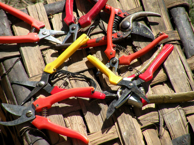 The harvest is in Piedmont an ancient peasant tradition and is a party. The grapes used for wines such as Barolo and Nebbiolo are collected with these shears on a basket Barolo City Barolo Vineyards Harvest Festival Harvest Season Harvester Harvesting The Field Abundance Backgrounds Choice Close-up Day Full Frame Grape Grapes On The Vine Grapes 🍇 Harvest Harvest Time Harvesting Large Group Of Objects No People Outdoors Shear Shearer's Shed Shearing Shears