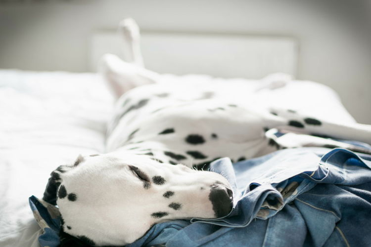 Close-Up Of Dalmatian Dog Relaxing On Bed At Home