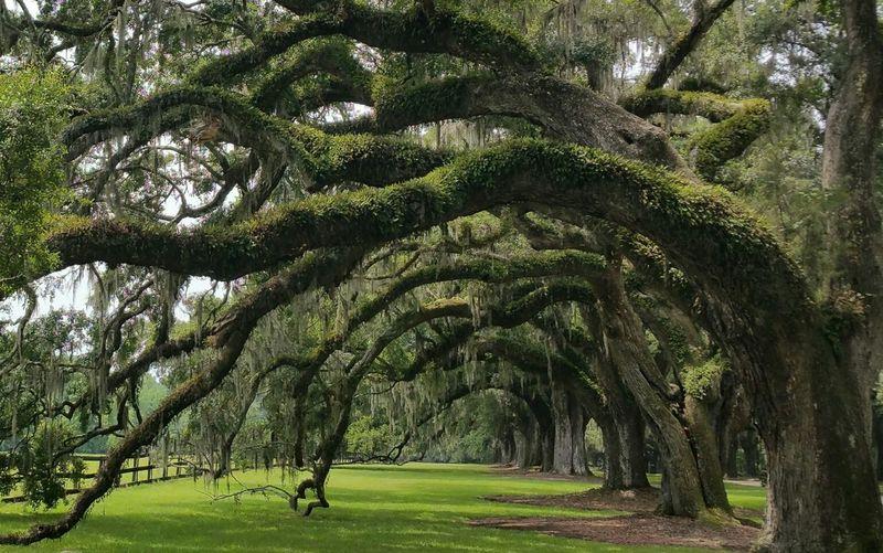 Charleston Southcarolina Spanishmoss Liveoak Oaktree Trees Nature Plantation Boonehallplantation Relaxing