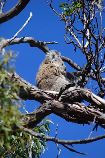 Low angle view of koala on tree against clear sky