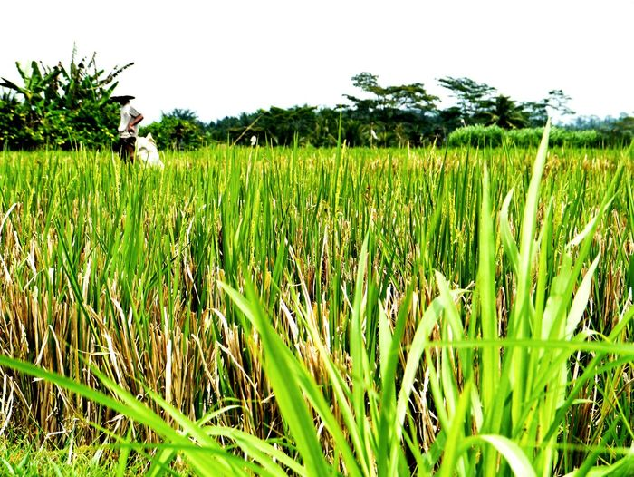 Rice fields Indonesia. Ricefields Ricepaddies Farm Life Asian Culture