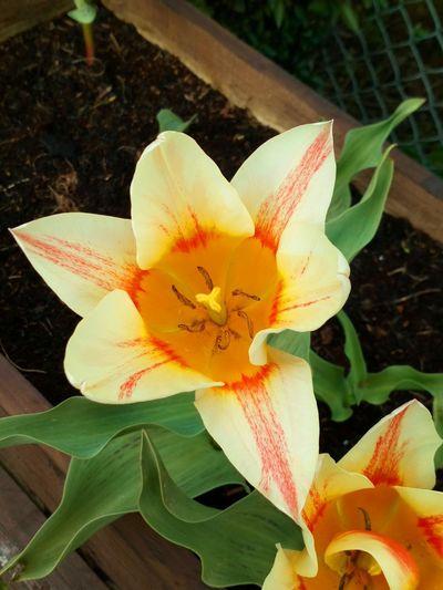 Tulip 🌷...