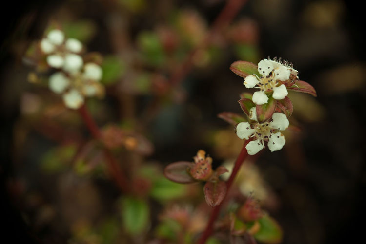 Cotoneaster Coral Beauty Beauty In Nature Botany Branch Close-up Cotoneaster Cotoneaster Coral Beauty Flower Flower Head Flowers Focus On Foreground Fragility Freshness Growth Macro Macro Nature Nature Petal Plant Springtime Twig White Color