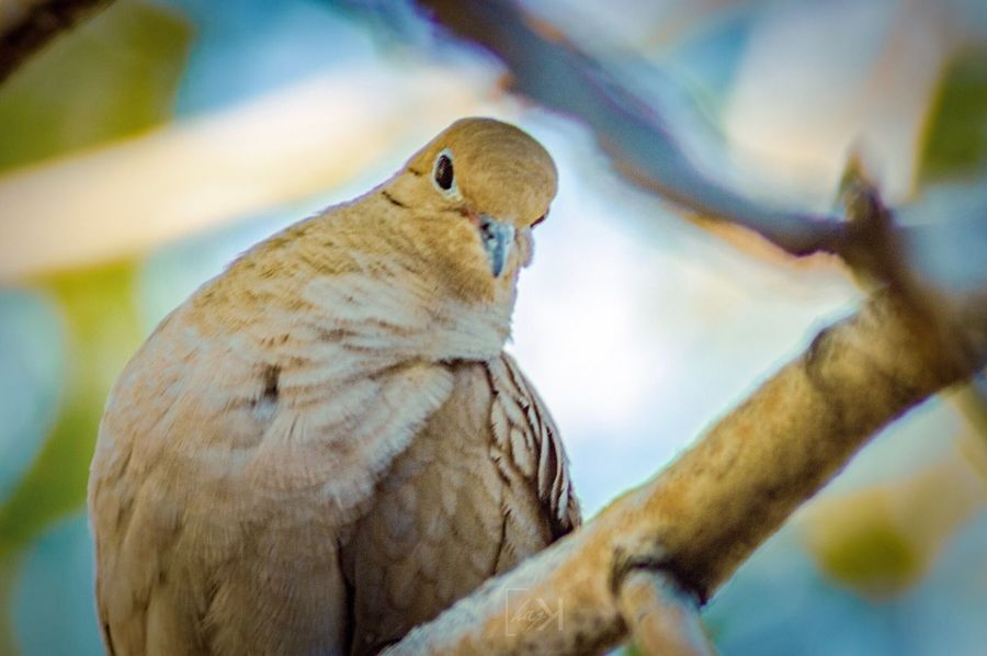Early morning capture of a mourning dove looking into the camera Bird In A Tree Mourning Dove EyeEm Selects Animal Themes Animal Animal Wildlife Animals In The Wild One Animal Close-up Focus On Foreground Beauty In Nature Bird Selective Focus Branch Perching Tree Nature
