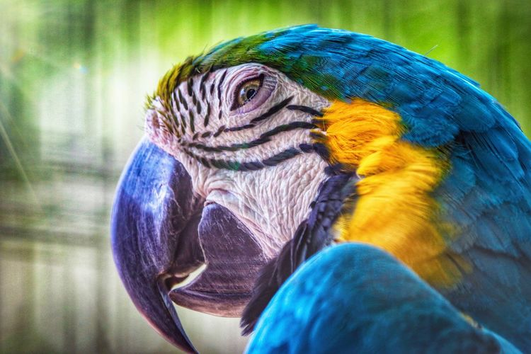 Those colors!! #Canon #sigma #wildlifephotography #Majestic Macaw Bird Gold And Blue Macaw Parrot Multi Colored