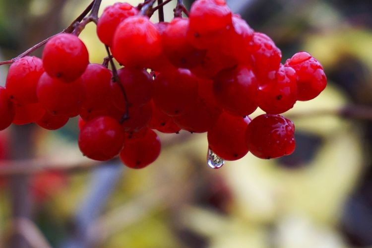 Good evening, friends 🙋🏻💝✨ my Sweet November Beauty In Nature Red Drop Focus On Foreground Nature Outdoors Rowanberry Growth Close-up Freshness Wet Nice Day Ladyphotographerofthemonth Exceptional Photographs My Secret Garden Drops Freshness After The Rain Beauty In Nature EyeEm Gallery Reflection Naturephotography From Russia With Love