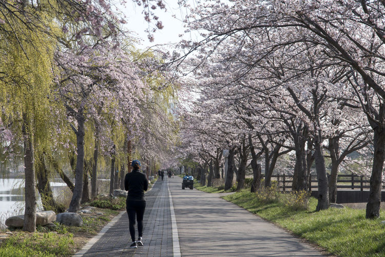 Gyeongpo Lake in spring time, Gangreung, Gangwondo, South Korea Beauty In Nature Blossom Branch Day Flower Fragility Full Length Growth Gyeongpo Lake Lakeside Men Morning Nature One Person Outdoors People Real People Rear View Sky Spring Springtime The Way Forward Tree Walking Walkway