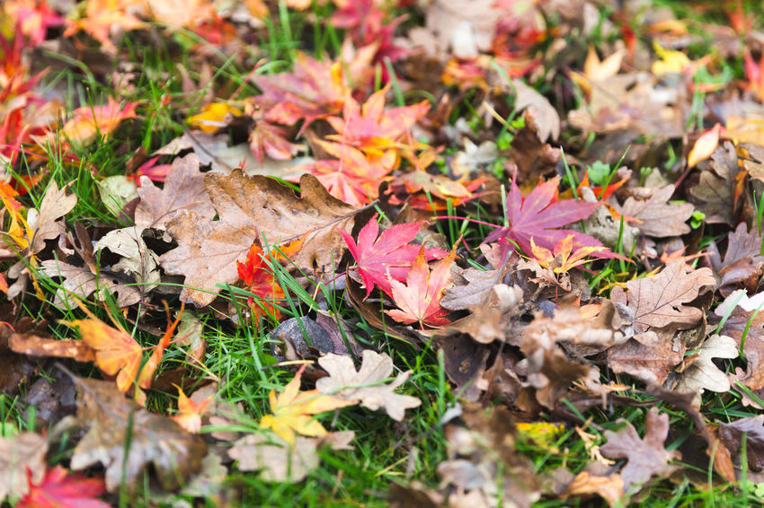Autumn leaves on green grass. Perspectives On Nature Autumn Beauty In Nature Change Close-up Day Dry Fallen Field Flower Fragility High Angle View Leaf Leaves Maple Maple Leaf Multi Colored Nature No People Outdoors