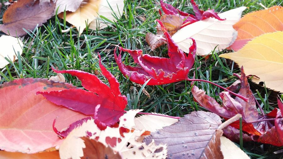 """""""Color your life with neon"""" Fall 2015 Fall Beauty Fall Leaves Mapleleaf Canadian Autumn Autumn Leaves Japanese Maple Leaves Orange Red Leaves Fall Colors Toronto Colors Of Autumn Nature Photography Beautiful Toronto"""