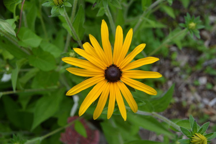 Close-up of yellow daisy flower