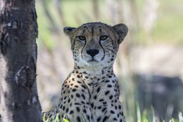Cheetah staredown. Animal Markings Animal Themes Animal Wildlife Animals In The Wild Cheetah Day Feline Focus On Foreground Looking At Camera Mammal Nature One Animal Outdoors Portrait Safari Animals Spotted
