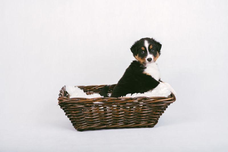 Portrait of kitten sitting in basket against white background