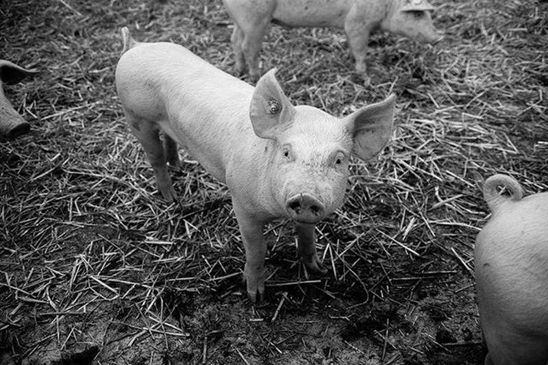 Pig Bommen Swissalps