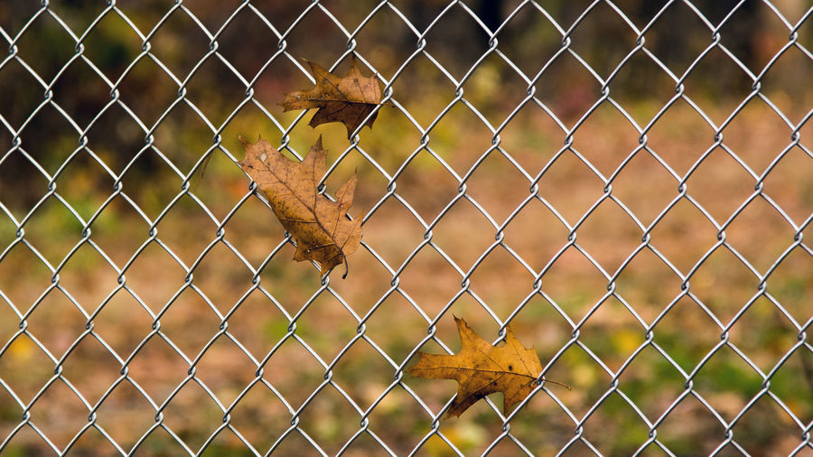 Dry Leaves On Chainlink Fence