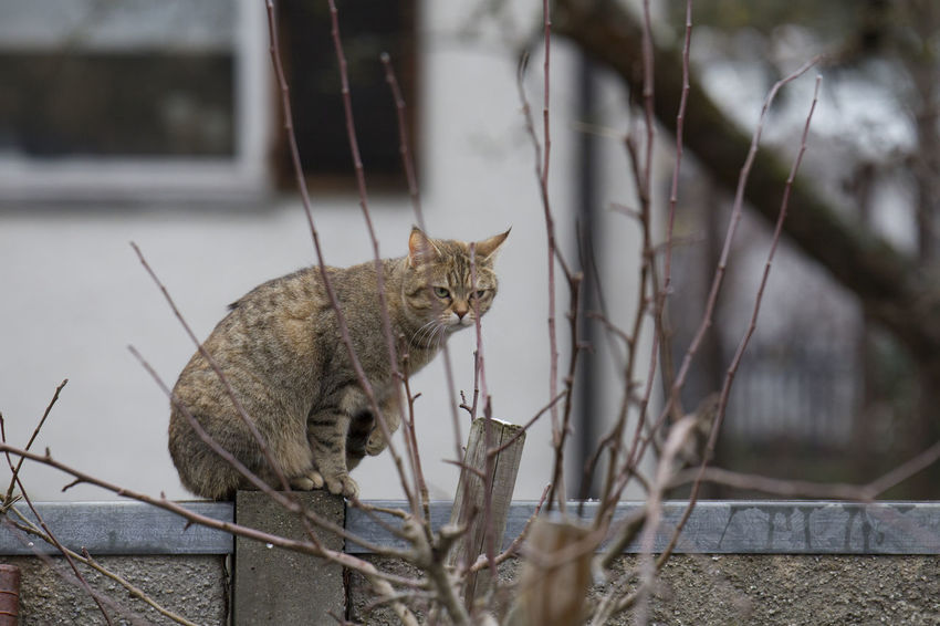 Animal Cat Animal Themes Mammal Domestic Cat Feline Vertebrate Domestic Animals Pets Domestic One Animal No People Day Looking At Camera Portrait Looking Focus On Foreground Selective Focus Whisker Nature Outdoors Tabby