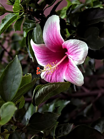 Beauty In Nature Close-up Flower Head Flowers From My Garden Freshness Hibiscus 🌺 Nikon 5700