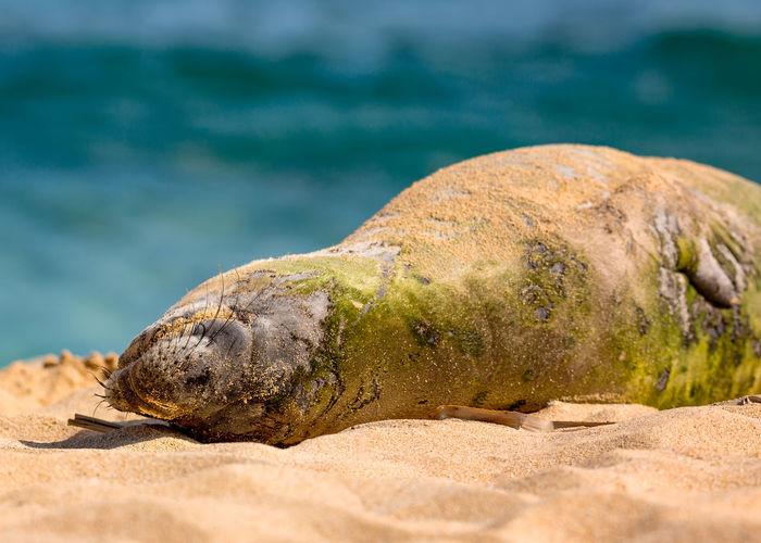 An endangered hawaiian munk seal rests on the beach on kauai, hawaii.
