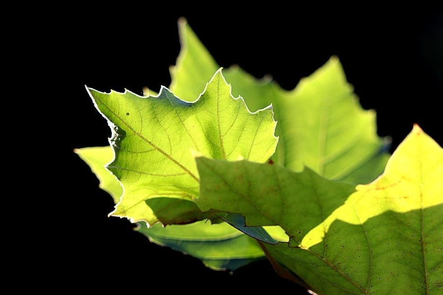 Leaf Plant Part Green Color Black Background Close-up Nature Plant Natural Pattern Fragility Freshness Vulnerability  Leaves Beauty In Nature Leaf Vein Sunlight Growth No People Outdoors