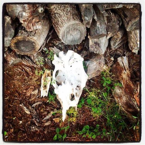 #dead  #deadcow #nature #photography Brown Charcoal #skull #art #artist #sketch #tattoo #tattooed #ink #inked #pencil #doodle #skin #skeleton #tattooedup #color #colour #cooltattoo #picture #picture #bones #skull Art #wallart #skulltattoo #skullhead #skullaholic  Outdoors Skull