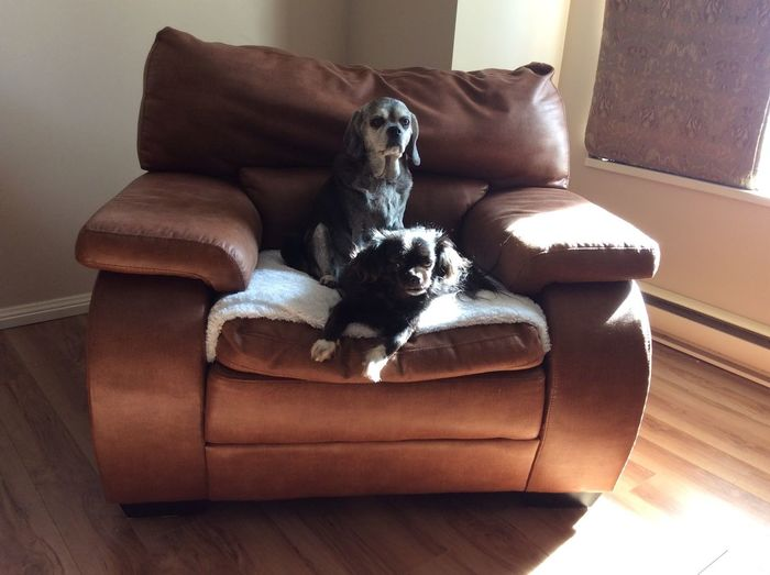 Sassy and Miss Molly having their picture taken. Living Room Chair Close-up Armchair Leather