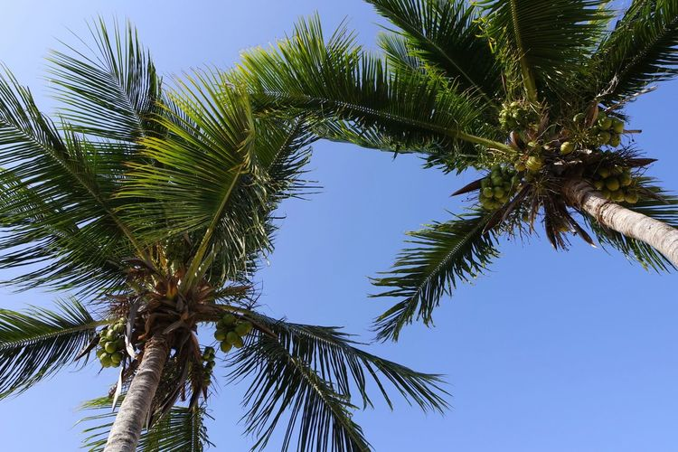 Low Angle View Of Palm Trees Growing Against Sky