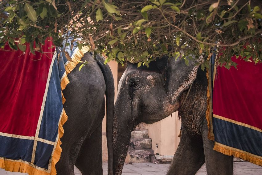 Elephant Animal Animals India Jaipur Rajasthan Amerfortjaipur Beautifuljaipur Indiacilcks Incredibleindia Jaipur Rajasthan Indiapictures EyeEmNewHere My Best Travel Photo