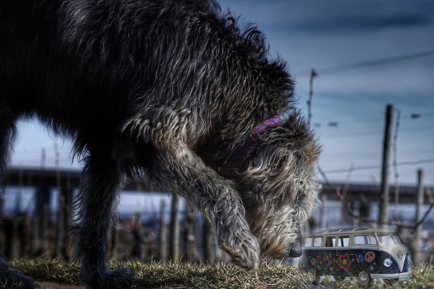 One Animal Animal Themes Domestic Animals Sky Dog Giant VW Bus Hello World Have A Nice Day♥ Irish Wolf Hounds. Gentle Giant. Mommys Boy❤ Willi The Wolfhound Irish Wolfhound Double Exposure Outdoors