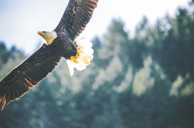 Animal Themes Bald Eagle Bird Bird Of Prey Bright Close-up Eagle Flying One Animal Outdoors Overexposed Spread Wings