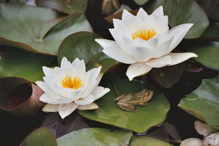 Close-Up Of Frog On Leaf With White Lotus Water Lily In Pond