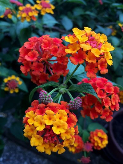 Flowering Plant Flower Plant Lantana Vulnerability  Beauty In Nature Fragility Petal Close-up Day Nature Yellow Flower Head