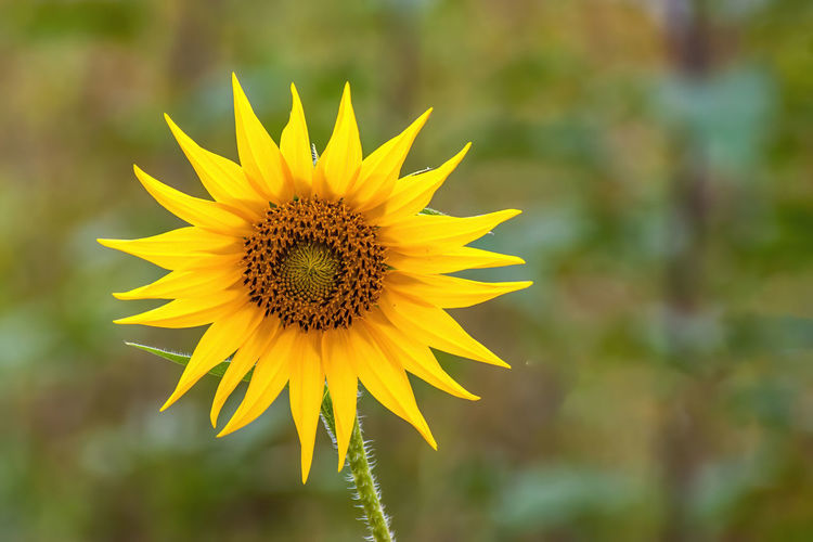 Flower Nature Yellow Sunflower Agriculture Plant Field Sunny Green Blue Summer Rural Background Beauty Bright Petal Outdoor Blossom Vibrant Farm Beautiful Plantation Sun Growth Farming Close Up Blooming Landscape Meadow Colourful Leaf Seed Sunlight Sunshine Golden Bee HoneyBee Clear Fields Flora Floral Outdoors Scene Sky Cloud