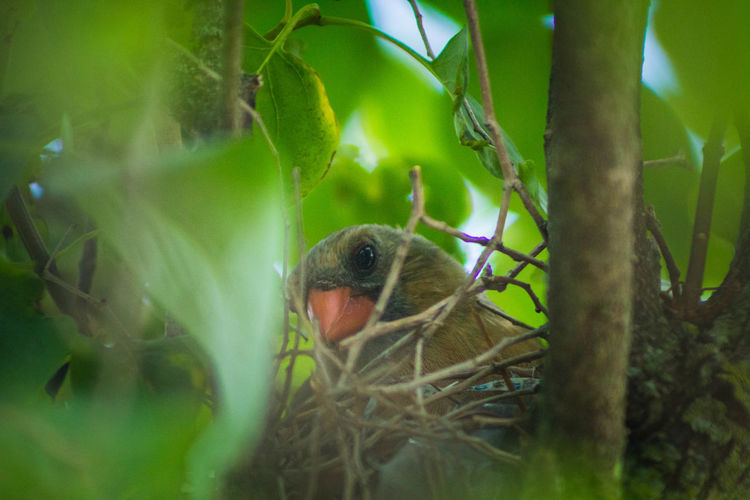Mama bird nesting Beauty In Nature Birds Cardinal Close-up Green Color Nature Nesting Orange Color Selective Focus Tranquility Tree