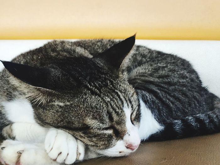 Cat♡ Sleeping Cat Vacation