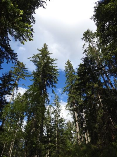 Tree Forest Nature Growth Low Angle View No People Beauty In Nature Day Green Color WoodLand Sky Pine Tree Outdoors Tree Trunk Glade Scenics Nature Nikonphotography Nikon P900 Pine Woodland Scotland Pine Trees