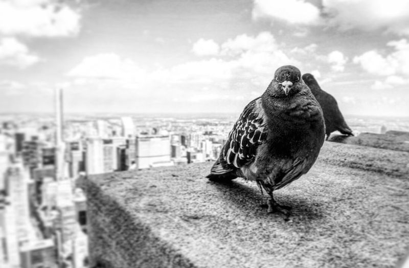Capture The Moment Photo taken on top of the Empire State Building, NYC Pigeon Empire State Building Travel Photography Hello World EyeEm Best Shots Blackandwhite Wanderlust NYC Photos That Will Restore Your Faith In Humanity My Best Photo 2015