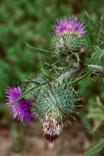 Plant Flower Beauty In Nature Close-up Flowering Plant Focus On Foreground Freshness Purple Flower Head Thistle No People Spiked