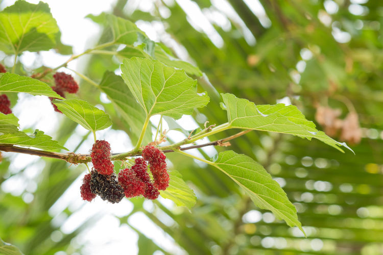 Close-up of strawberry growing on tree