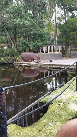 Hippo Water Wild Life