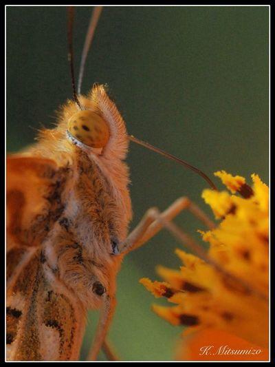 毛むくじゃら 褄黒豹紋蝶 Butterfly Tadaa Community Insects  勝蝶 蝶