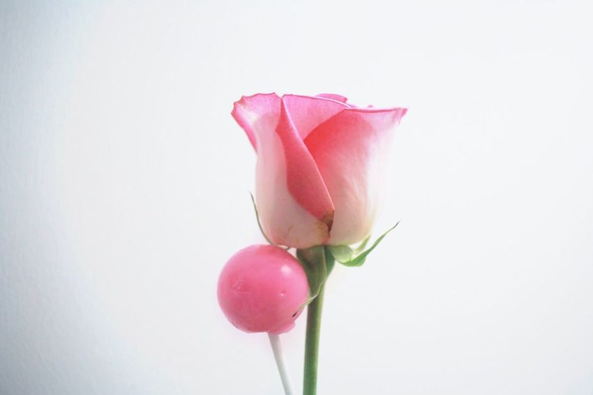 A sweetened romance Flower Pink Color White Background Studio Shot Petal Close-up Lollipop Flower Head Rose - Flower Pretty Cute