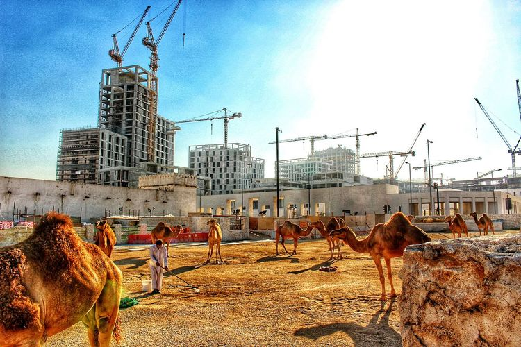 Camel pen in Doha, Qatar Old Meets New Camel Construction Development Sand Streetphotography Lifestyles Culture Travel Doha,Qatar Snapseed Snapseed Editing  Canon Canon Eos Rebel SL1 HDR Camels Middle East The Changing City Construction Site Urban Perspective Check This Out Backgrounds Miles Away