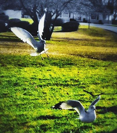 Coming in right behind you🕊 Seagull Seagulls SEAGULL IN FLIGHT Seagulls In The Park December No Snow  Nature Birds BirdLovers Spread Wings Green Grass No People Michigan United States
