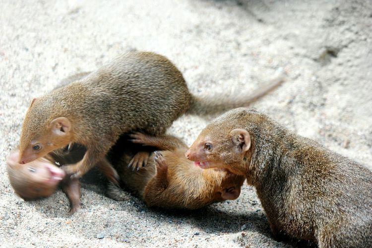 Four Mongoose Playing